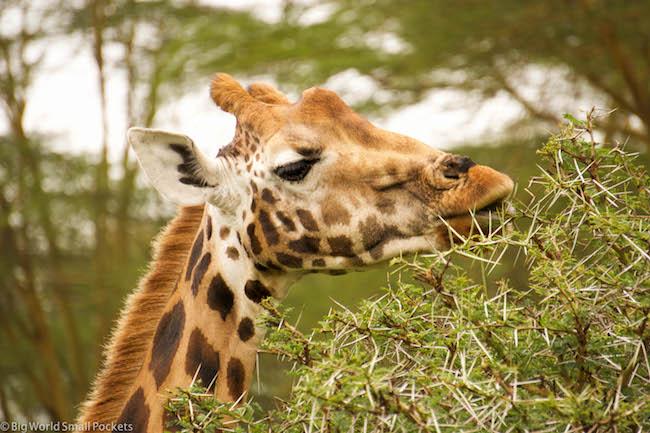 Kenya, Lake Nakuru, Giraffe Eating