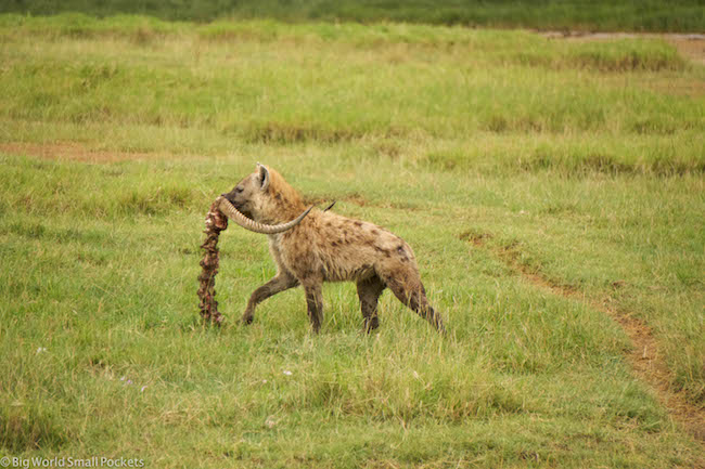 Kenya, Lake Nakuru, Hyena Carrying Carcass