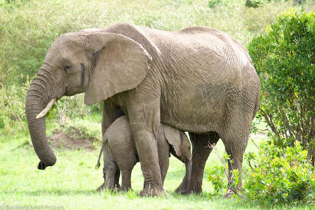 Kenya, Masai Mara, Baby Elephant & Mum