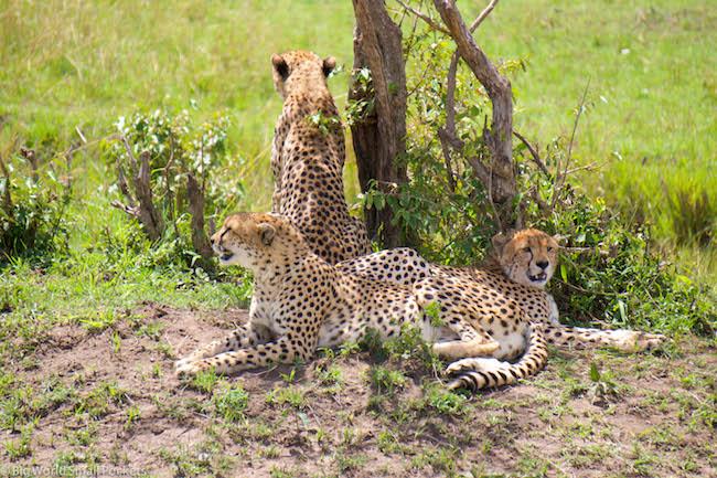 Kenya, Masai Mara, Cheetah Trio