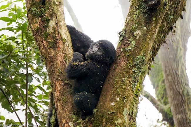 Uganda, Bwindi, Dirty Gorilla