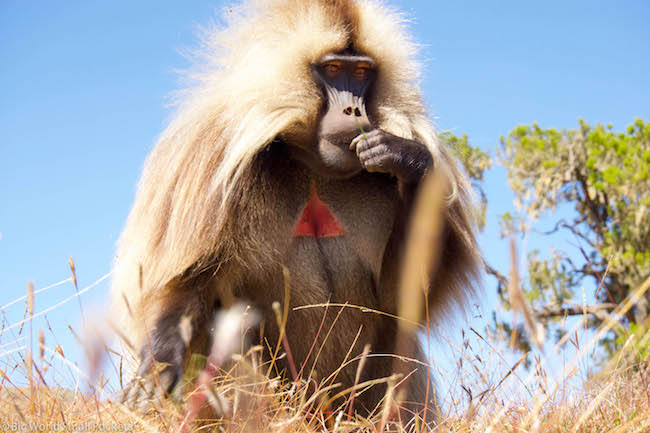 Ethiopia, Simien Mountains, Gelada Monkey