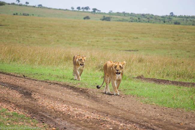Kenya, Masai Mara, Lion Duo