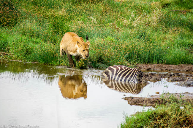 Tanzania, Serengeti, Lion and Zebra