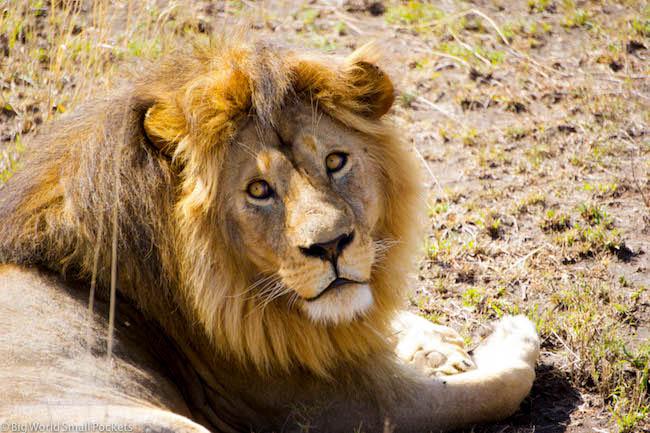 Tanzania, Serengeti, Male Lion