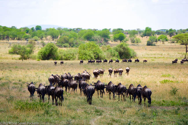 Tanzania, Serengeti, Wildebeest Migration