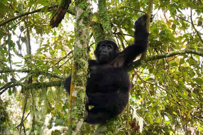 Uganda, Bwindi, Swinging Gorilla