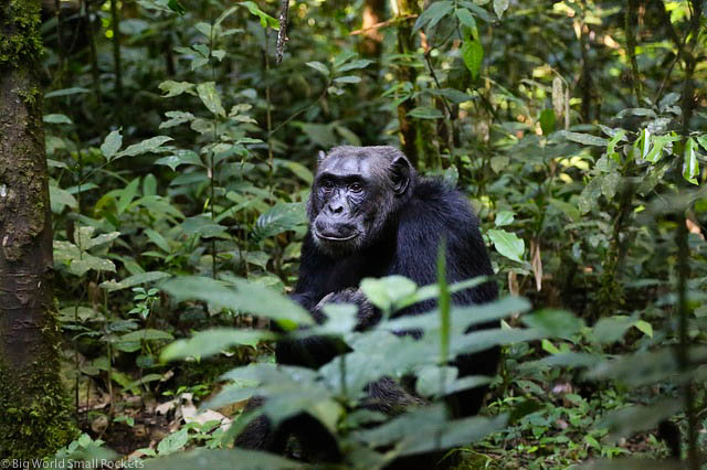 Uganda, Kibale NP, Chimpanzee