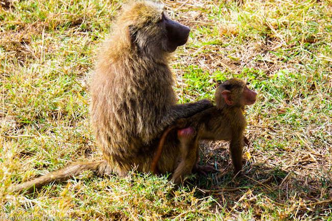 Africa, Safari, Baboons