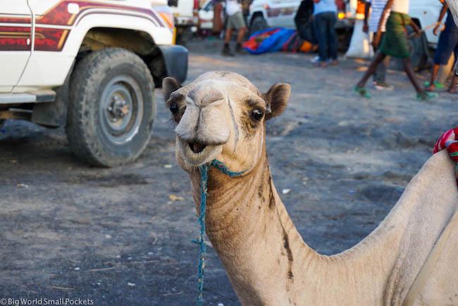 Ethiopia, Danakil Depression, Camel