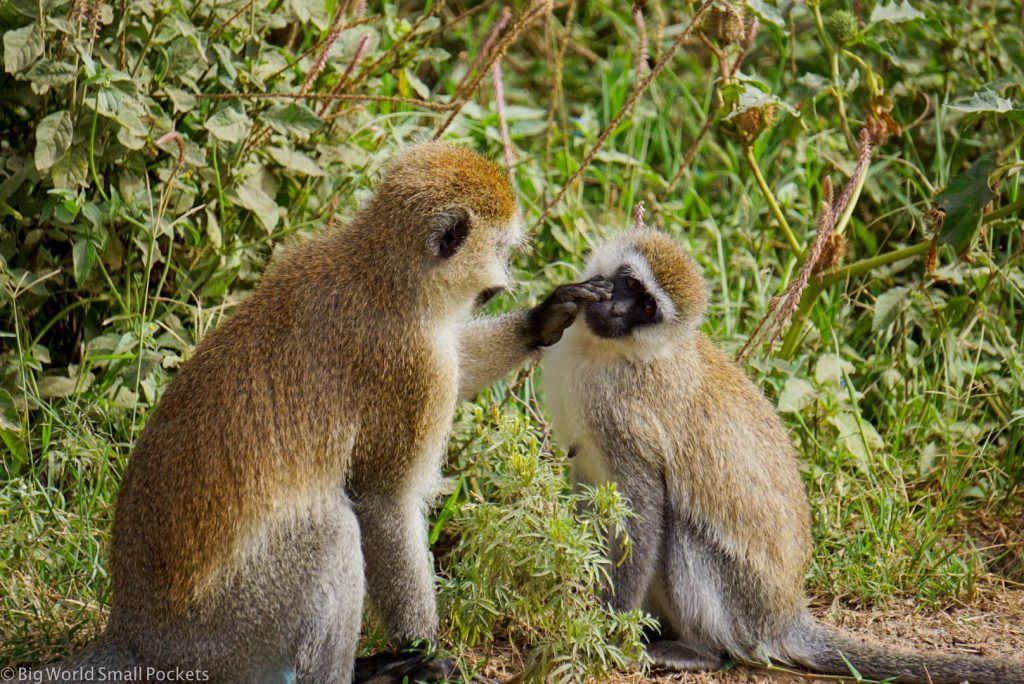 Kenya, Hells Gate NP, Vervet Monkeys