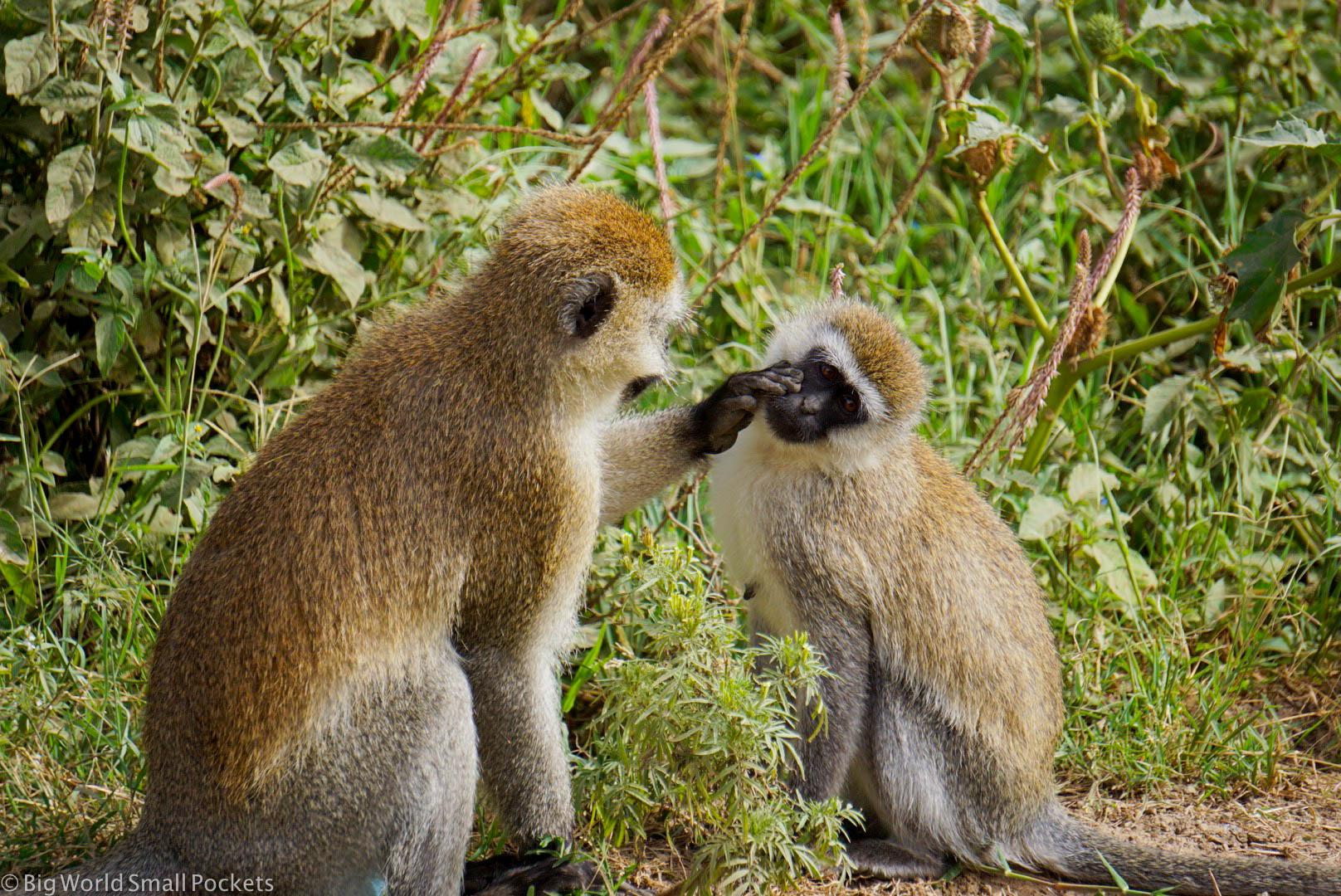 Kenya, Hells Gate NP, Vervet Monkeys
