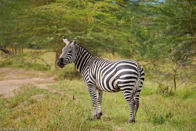 Kenya, Hells Gate NP, Zebra