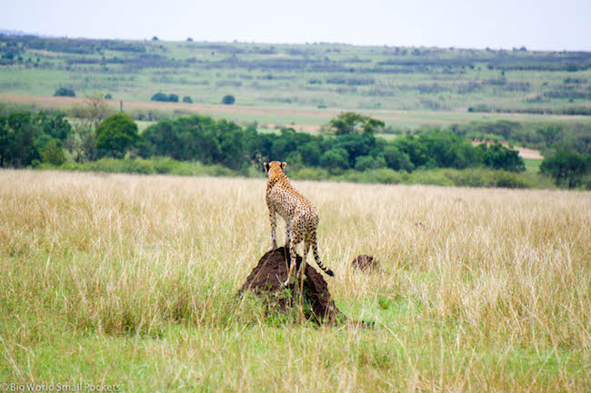 Kenya, Masai Mara, Cheetah on Watch