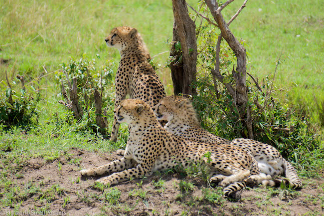 Kenya, Masai Mara, Cheetahs Under Tree