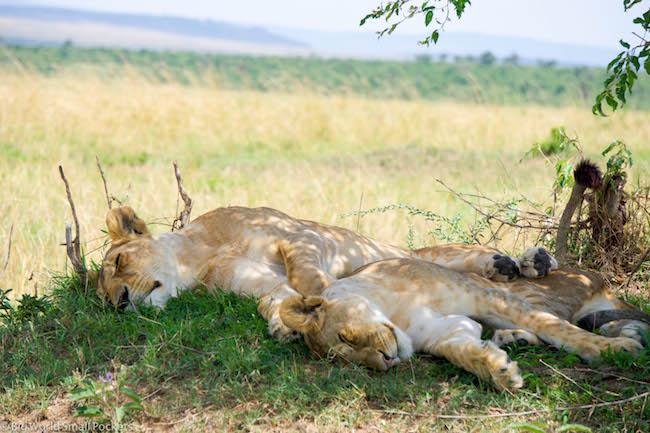 Kenya, Masai Mara, Lions Snoozing