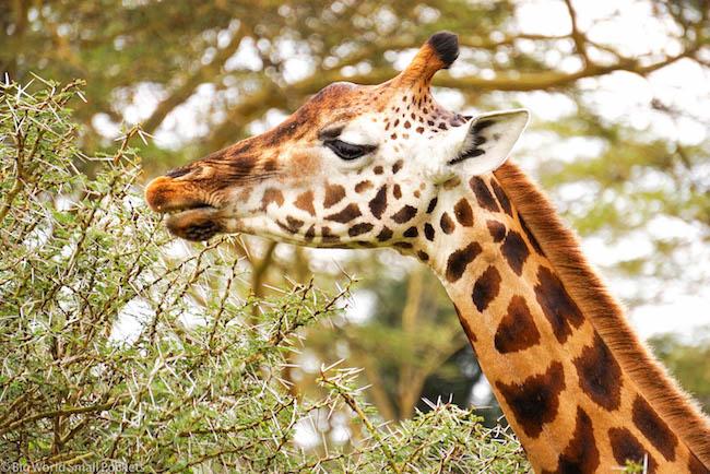 Tanzania, Giraffe, Serengeti