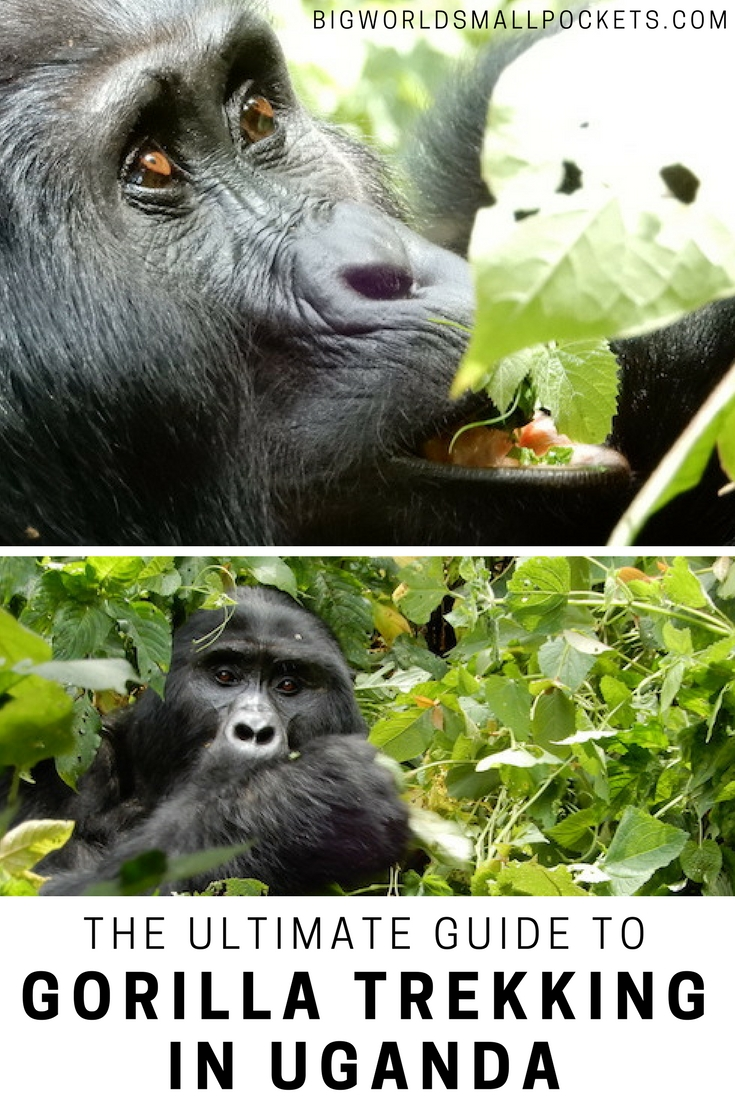 The Ultimate Guide to Gorilla Trekking in Uganda {Big World Small Pockets}
