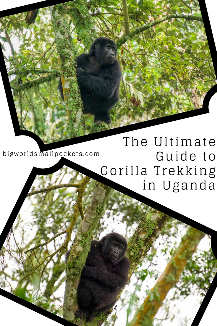 The Ultimate Guide to Gorilla Trekking in the Bwindi Impenetrable Forest, Uganda {Big World Small Pockets}