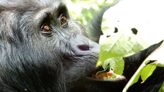 Uganda, Bwindi, Gorilla Eating