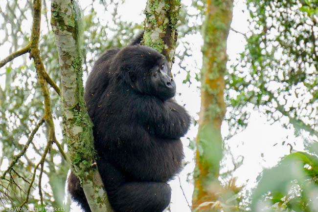 Uganda, Gorilla, Big Mumma