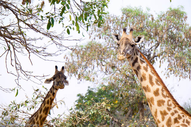 Zambia, South Luangwa NP, Giraffes