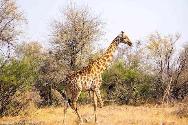 Zimbabwe, Hwange NP, Giraffe