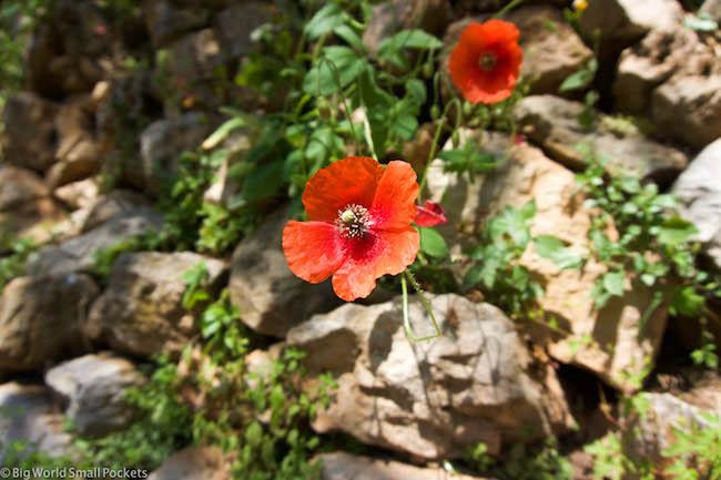Lebanon, Bcharre, Poppies