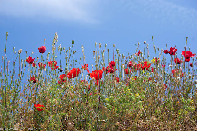 Turkey, Selcuk, Poppies