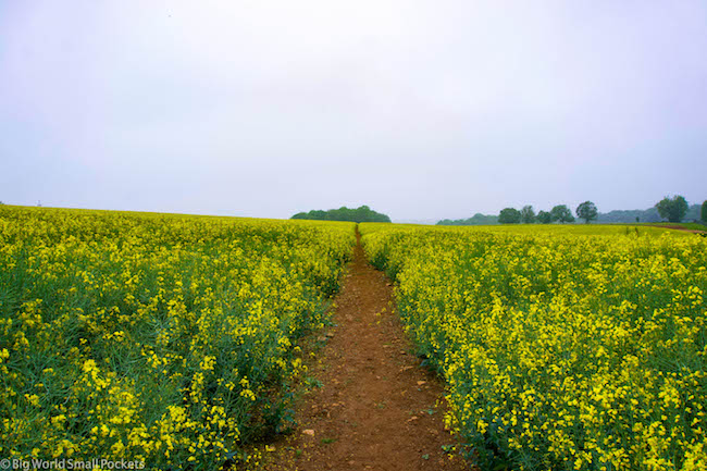 UK, Cotswolds, Yellow Fields