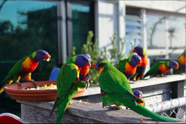 Australia, Melbourne, Rainbow Lorikeets