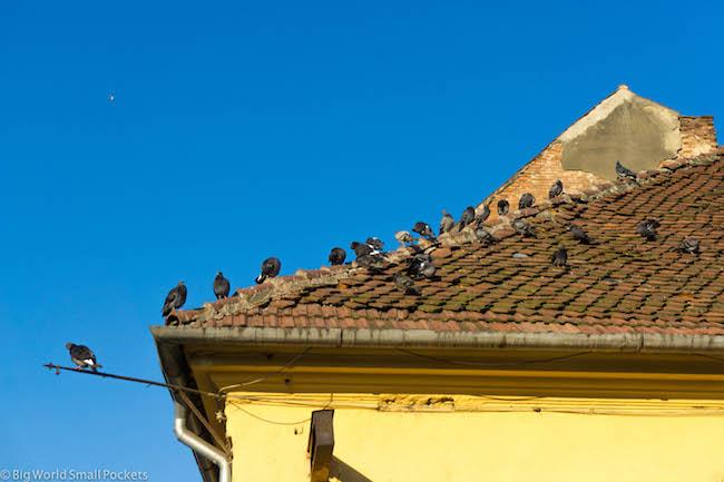 Romania, Brasov, Pigeons