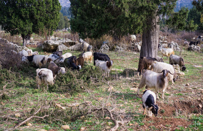 Lebanon, Aakkar, Sheep
