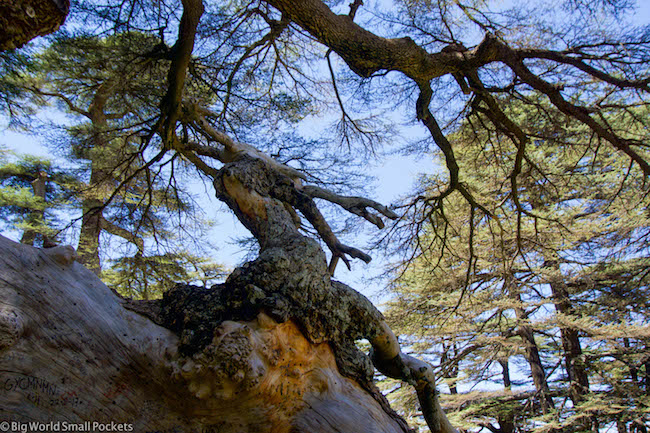 Lebanon, Cedars, Tree Stump