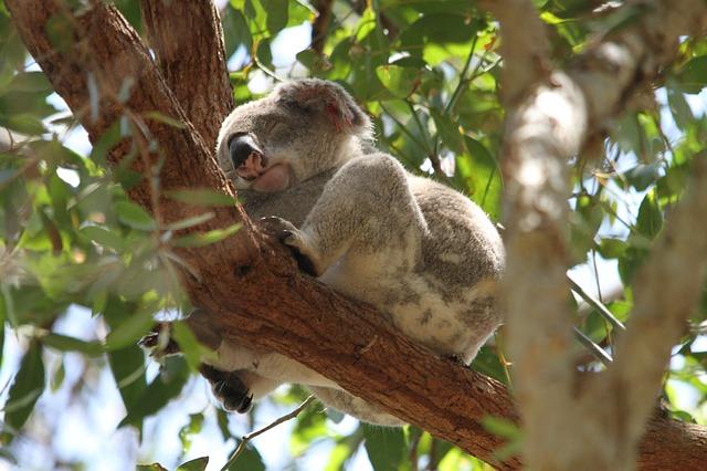 Australia, Noosa National Park Koala