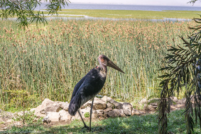 Ethiopia, Awasa, Crane