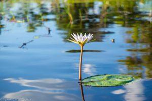 Botswana, Okavango Delta, Lily