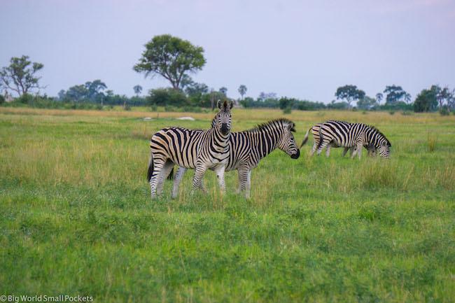 Botswana, Okavango Delta, Zebra