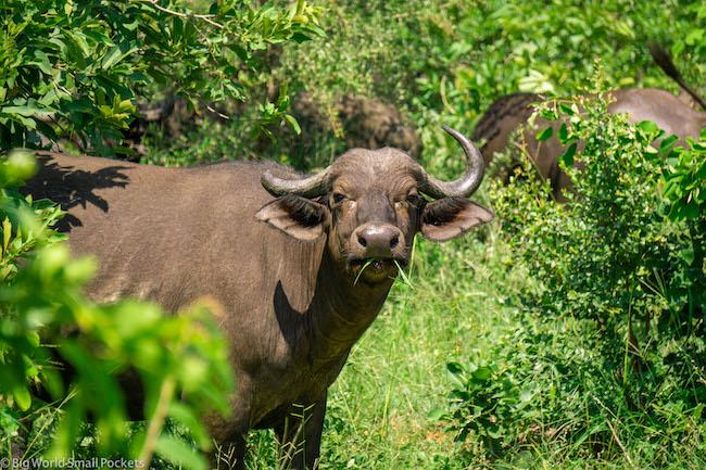 South Africa, Kruger, Buffalo