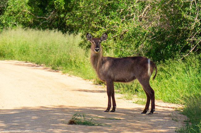 South Africa, Kruger, Eland