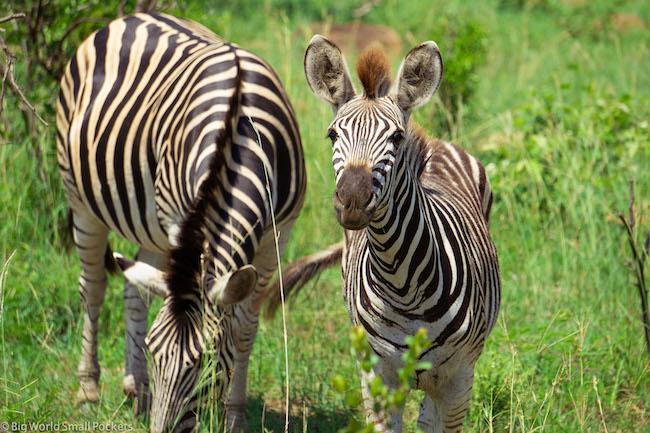 South Africa, Kruger NP, Zebra