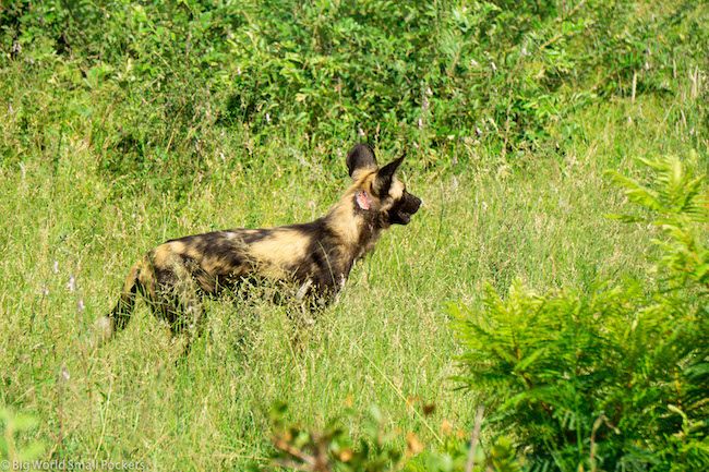 South Africa, Kruger National Park, African Wild Dog