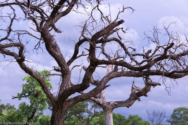 South Africa, Kruger National Park, Tree Branches