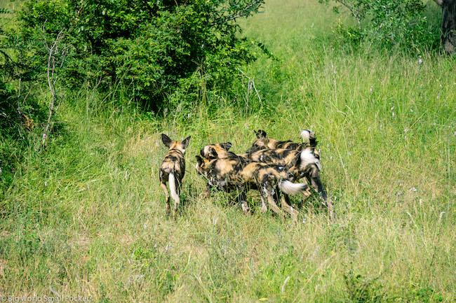South Africa, Kruger, Wild Dog Pack