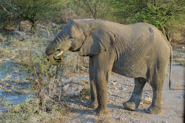 Namibia, Etosha, Elephant Eating