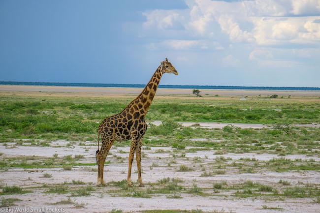 Namibia, Etosha, Giraffe