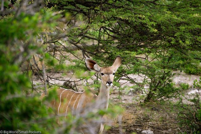 Namibia, Etosha, Kudu