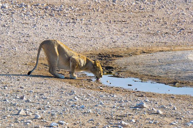 Namibia, Etosha, Lion