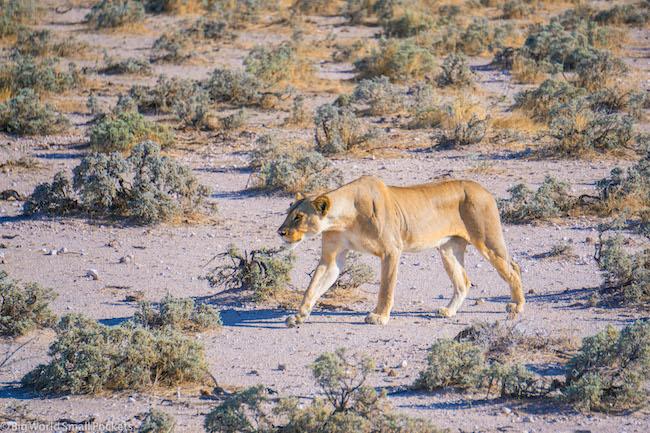 Namibia, Etosha NP, Lioness