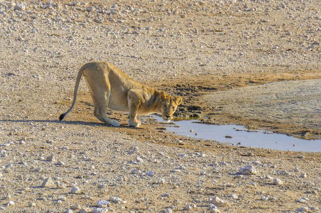 Namibia, Etosha National Park, Lion